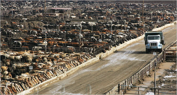 California Feedlot