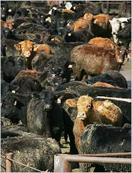 California Feedlot2