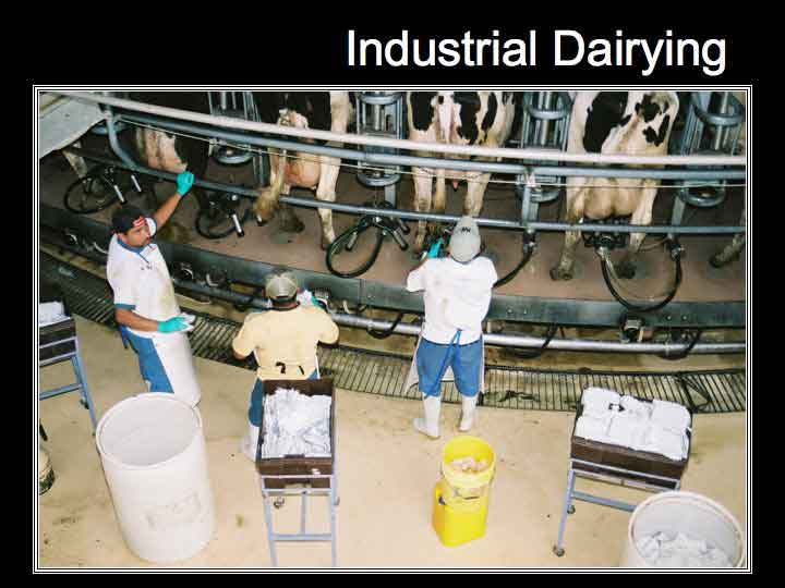Workers in a modern milking parlor