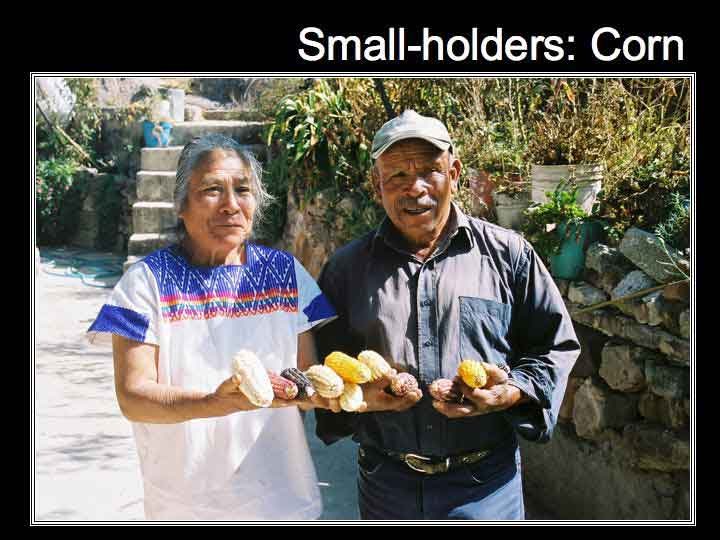 Small holders with corn cob in their hands