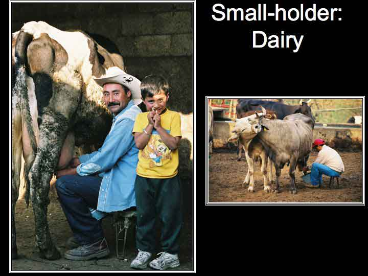 Small hoder dairyman milking cow with young son standing by
